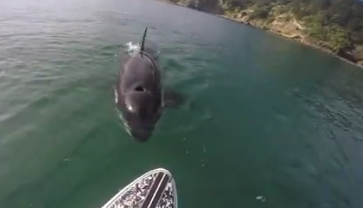 This Paddleboarder Was Greeted By a Curious Orca, And He Captured Some Amazing Footage