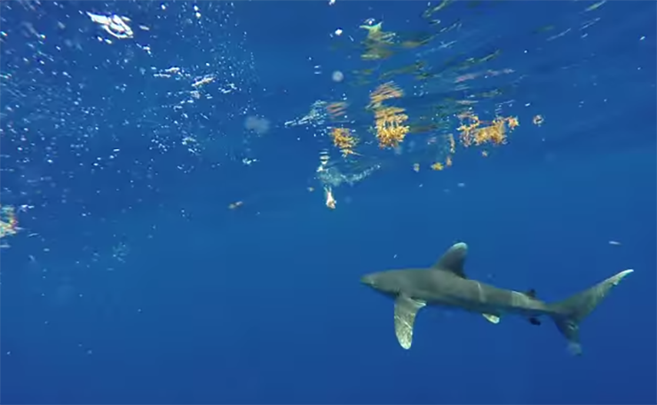 An Oceanic White Tip Shark Was Spotted Off Jupiter's Coast, But Don't Freak Out