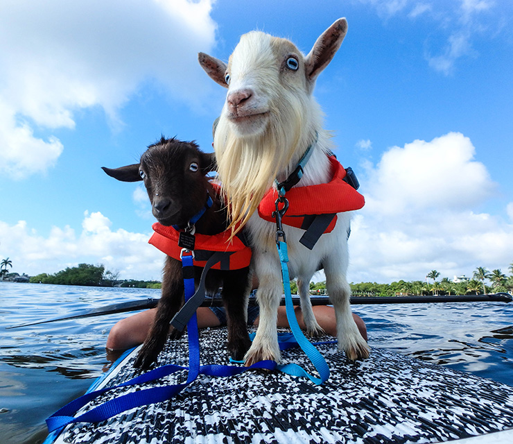 Meet The Paddleboarding Goats Who Clearly Know What Jupiter Living Is About