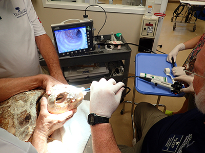 Nikki The Sea Turtle Gets Second Chance At Life, Thanks To Loggerhead Marinelife Center