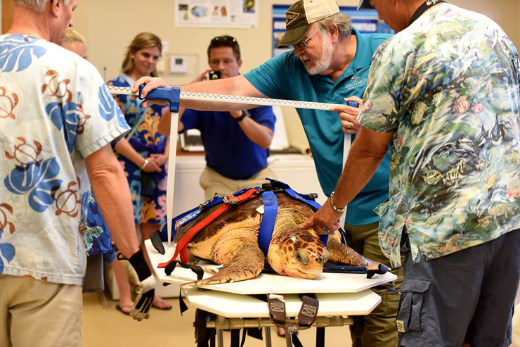 Loggerhead Marinelife Center Releases Xander The Sea Turtle, Who Was Rescued From St. Lucie Power Plant Intake Canal Last Summer