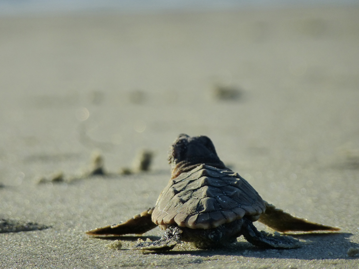 Loggerhead Marinelife Center Shares Tips For Keeping Our Sea Turtles Safe During Nesting Season In Jupiter