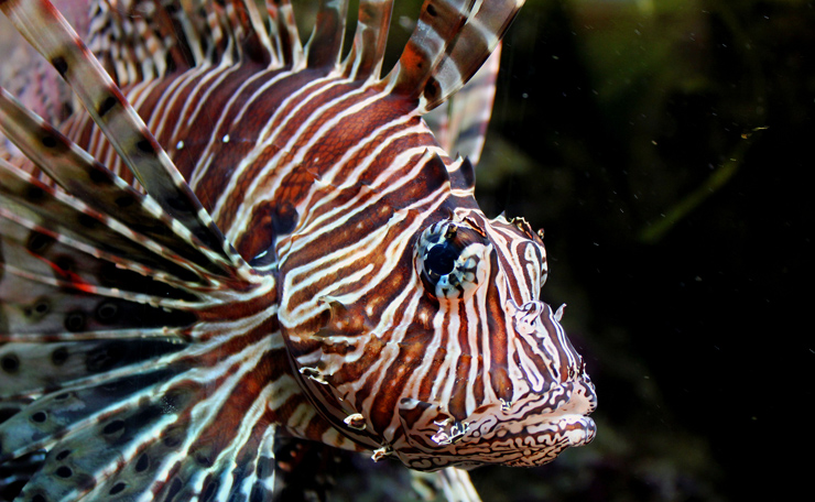 Whole Foods Market Stores In Florida Are Now Selling Lionfish To Reduce The Invasive Species' Environmental Threat