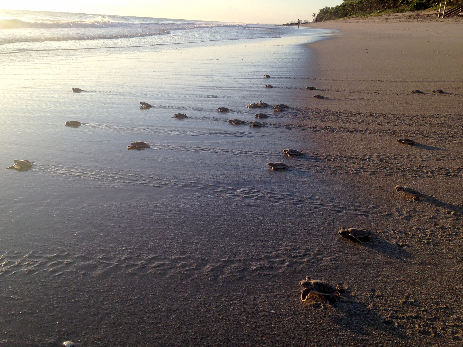 Spot And Learn About Turtle Hatchlings at Loggerhead Marinelife Center's New Biologist Beach Walk Series