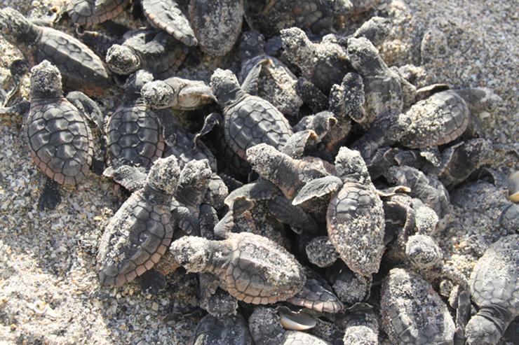 Nesting Loggerheads Set Record On Juno Beach, Loggerhead Marinelife Center Announces