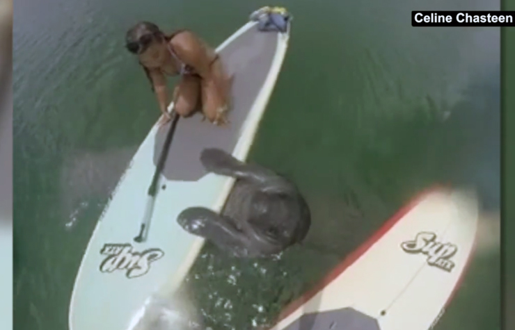 Paddleboarder In Jupiter Gets A Visit From A Friendly Manatee Who Just Wants To Hang And Chill