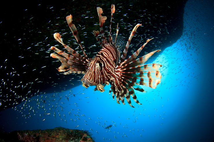 REEF Lionfish Derby And First-Ever Festival At Loggerhead Will Offer Lionfish Cooking Competition, Filet Demos, Tastings And More