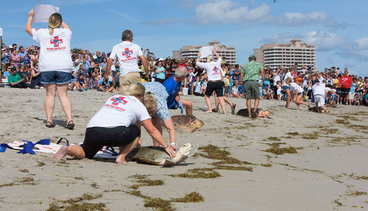 Loggerhead Marinelife Center Helps 5 Sea Turtles Return Home During Momentous Release That Included A Proposal