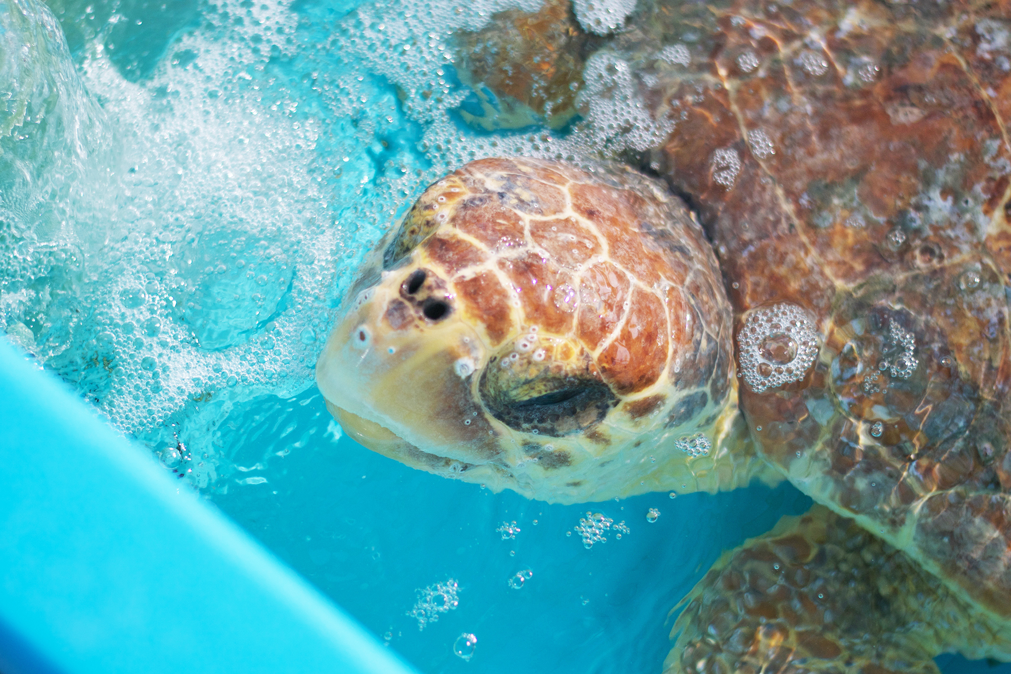 Loggerhead Marinelife Center Will Release Two Sea Turtles From Juno Beach On July 12