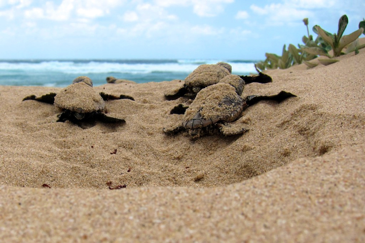 When Technology Failed, Good Old Detective Work Led To Bust Of Sea Turtle Egg Poachers